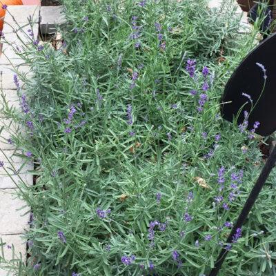 Lavender Ridge – Local Love