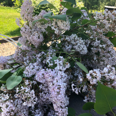 Lilac Syrup Canning Recipe